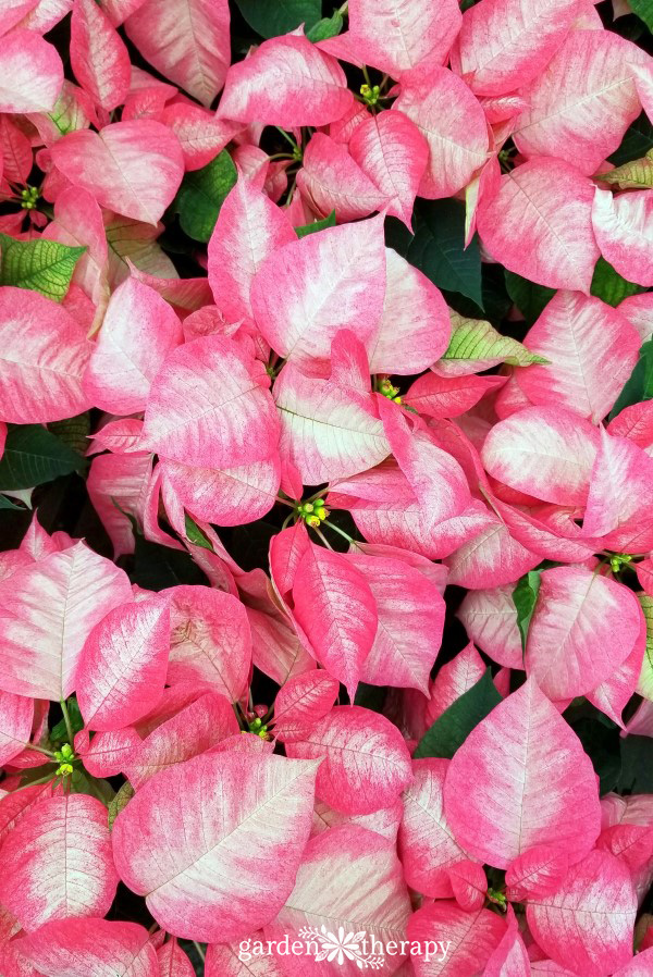 Poinsettias: History, Growing, and Styling
