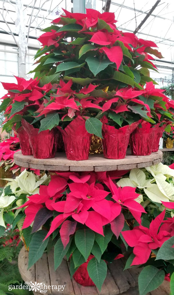 Poinsettia styling tips