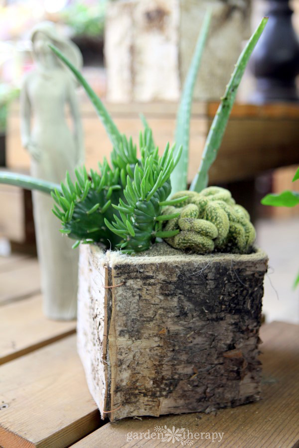Cacti look lovely in the home
