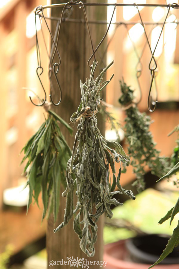 Dried Sage on outdoor herb rack