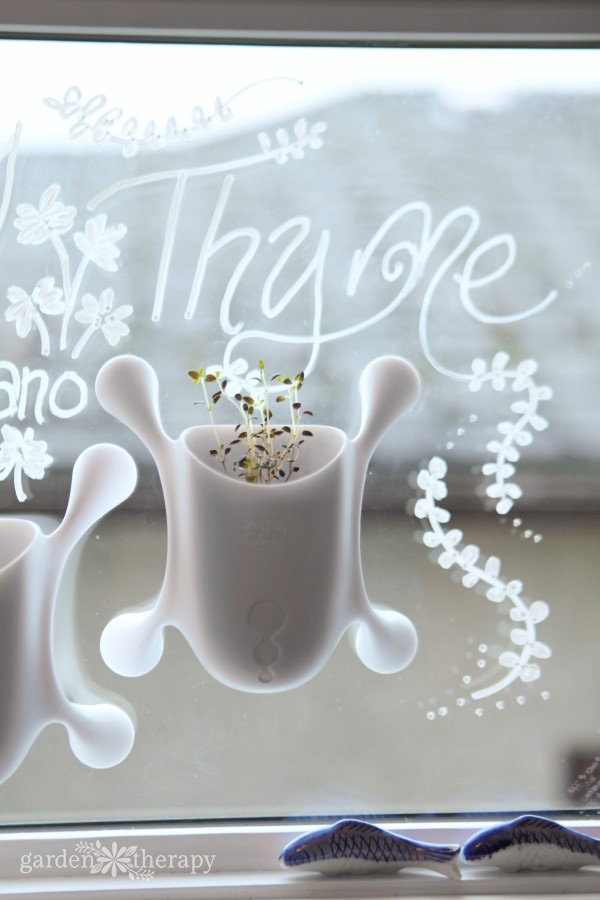 Small container of thyme growing on a kitchen window