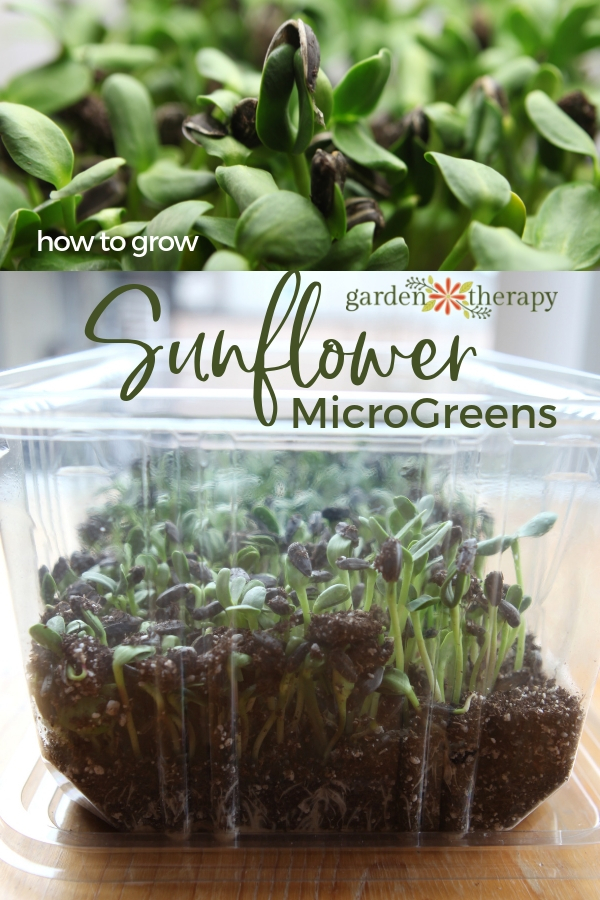 How to Grow Sunflower Microgreens - Sunflower seeds sprouting in a clear plastic container.