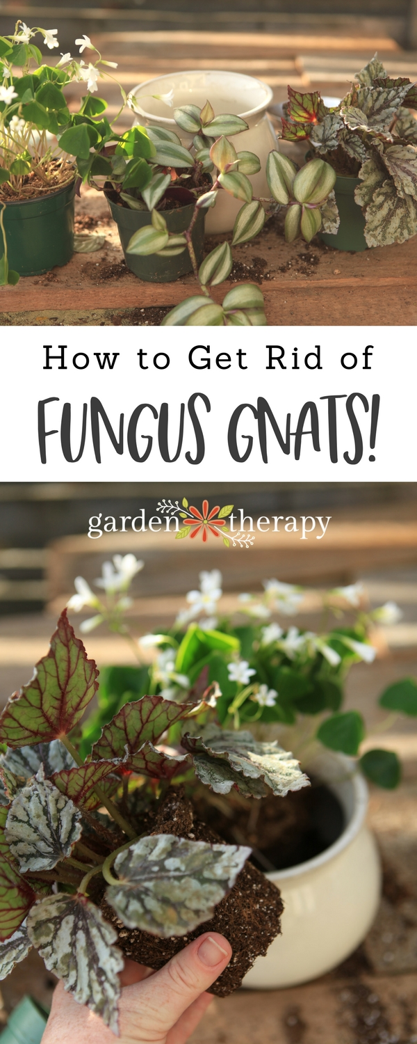 Prevent and get rid of fungus gnats