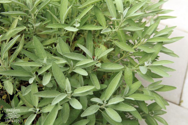 Sage growing in the garden.