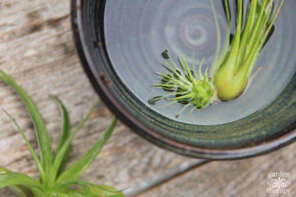 Give your air plants a bath!