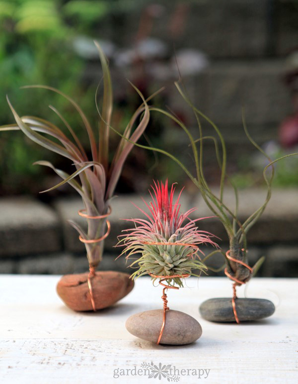 how to properly water air plants garden therapy. Black Bedroom Furniture Sets. Home Design Ideas