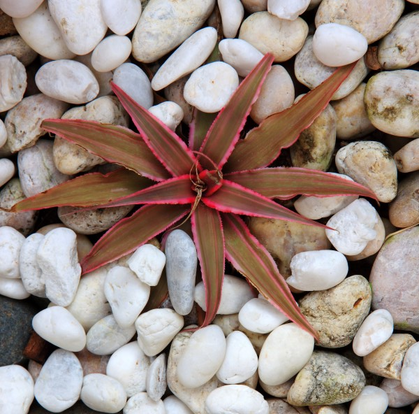Cryptanthus bivittatus planted in white rock - one of the best plants for your terrarium