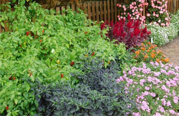 Colorful peppers growing alongside ornamental plants