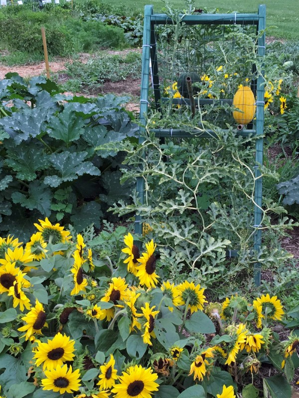 Bright yellow sunflowers growing in front of a trellis, from which dangles an oblong yellow squash