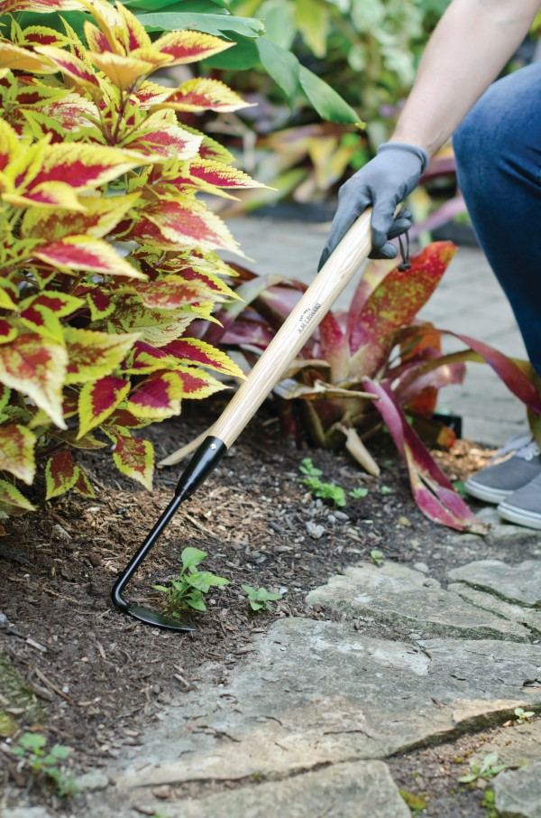 Cape Cod weeder being used to remove weeds from a garden bed.