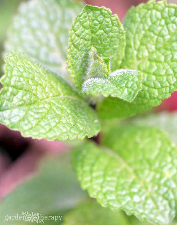 Close-up image of mint leaves