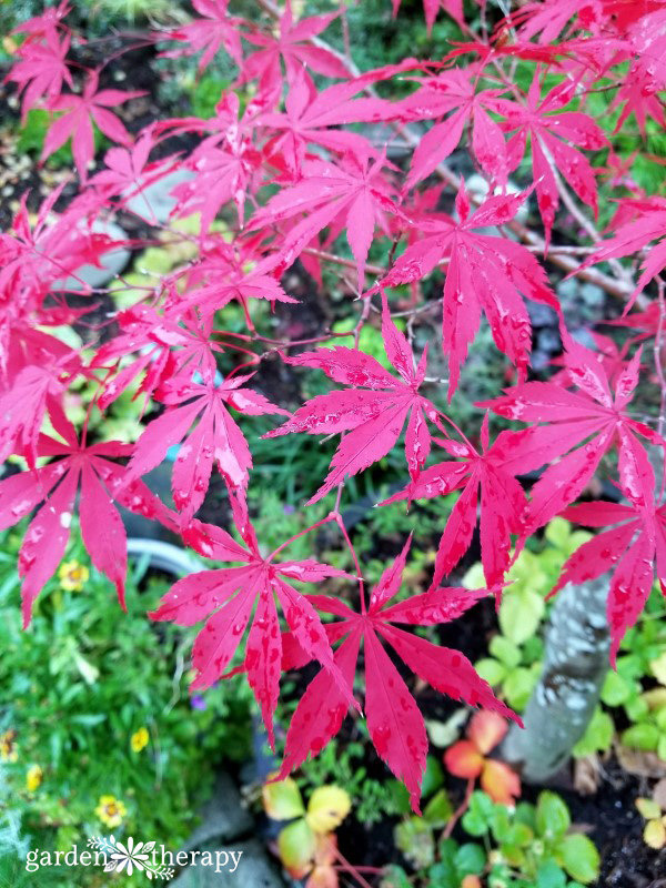 Bright red Japanese maple foliage