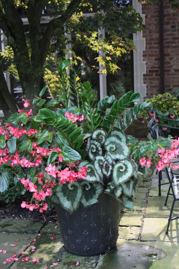 interesting foliage and pink flowers planted in a decorative black pot.