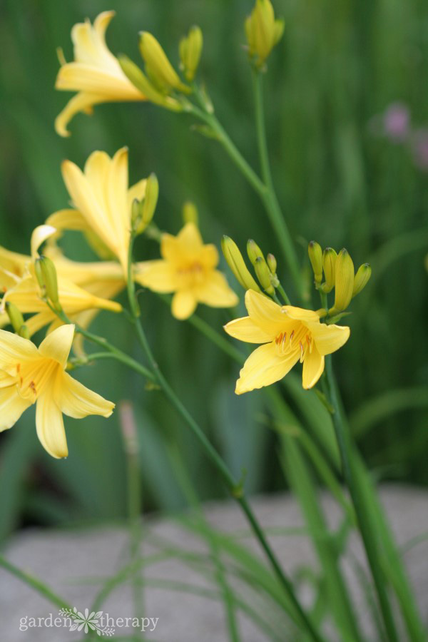 Ornamental yellow daylilies that are edible as well as decorative