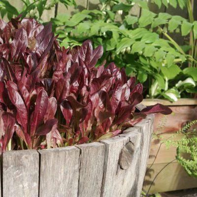 Lettuce in a Wine Barrel