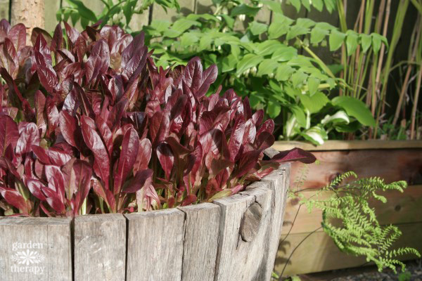 Deer Tongue Red Romaine lettuce growing in a wine barrel