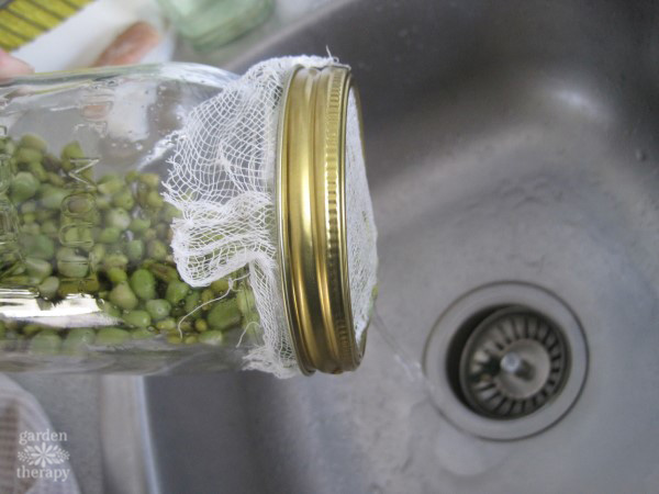 draining out the water from a jar full of pea sprouts over the sink