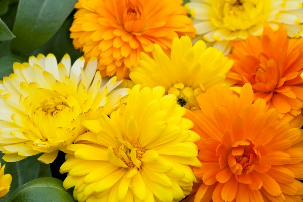 Costa calendulas, one of the limited edition seeds included in the Garden Therapy Natural Beauty Kit