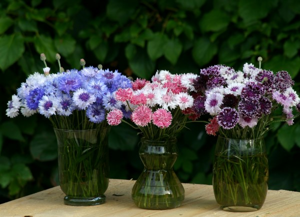 Classic Magic Centaurea mix in blue, pink, and purple look lovely in vases and can be dried and added to natural beauty recipes