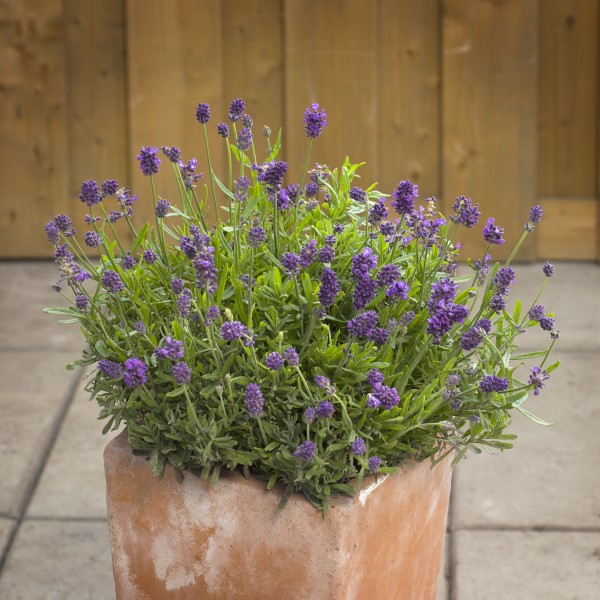 Mini blue lavender, a small-space lavender plant that can be used in DIY skincare recipes