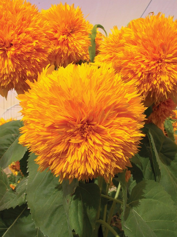 Goldy double sunflowers look gorgeous in the garden and the petals can be added to natural skincare recipes for a decorative element
