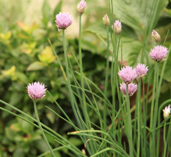 Close-up image of blooming chives growing in a garden