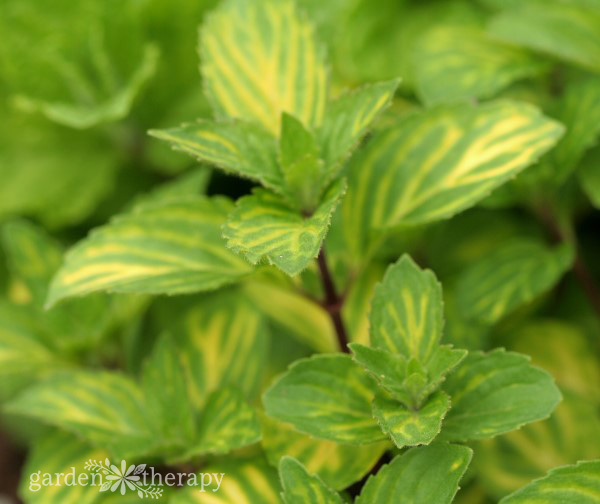 Close-up image of mint plant with variegated green and yellow leaves