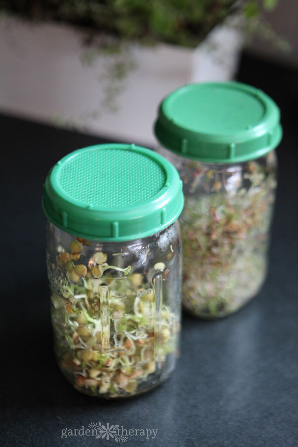 Two mason jars with green sprouting lids holding freshly grown sprouts