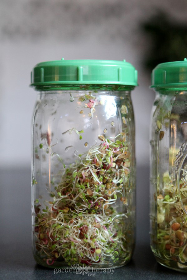 Two clear glass jars with green plastic lids filled with sprouts