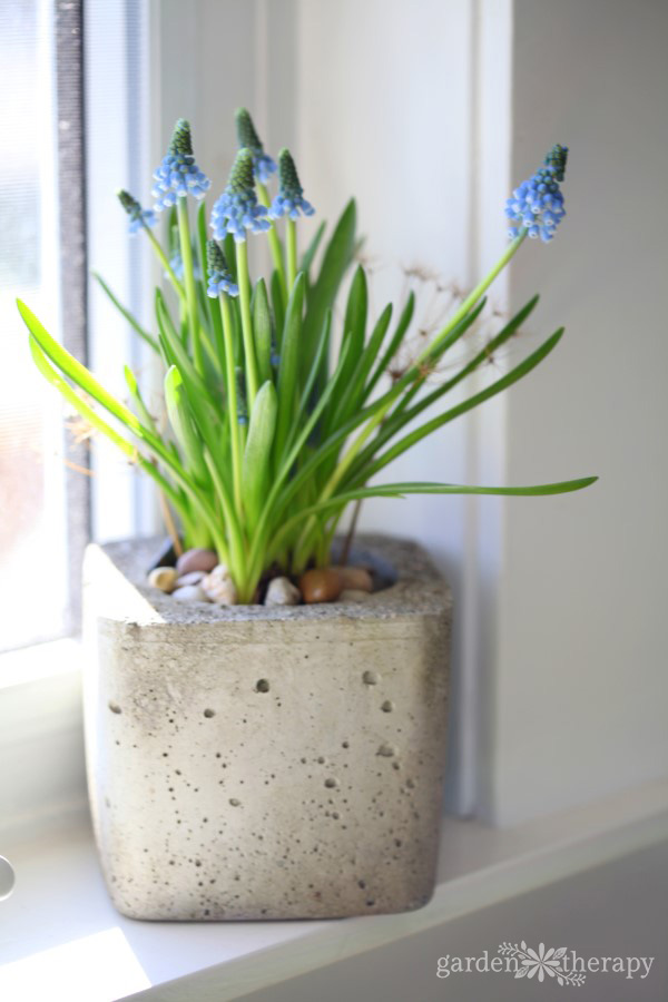 Muscari are one of several spring bulbs that can be forced to bloom indoors