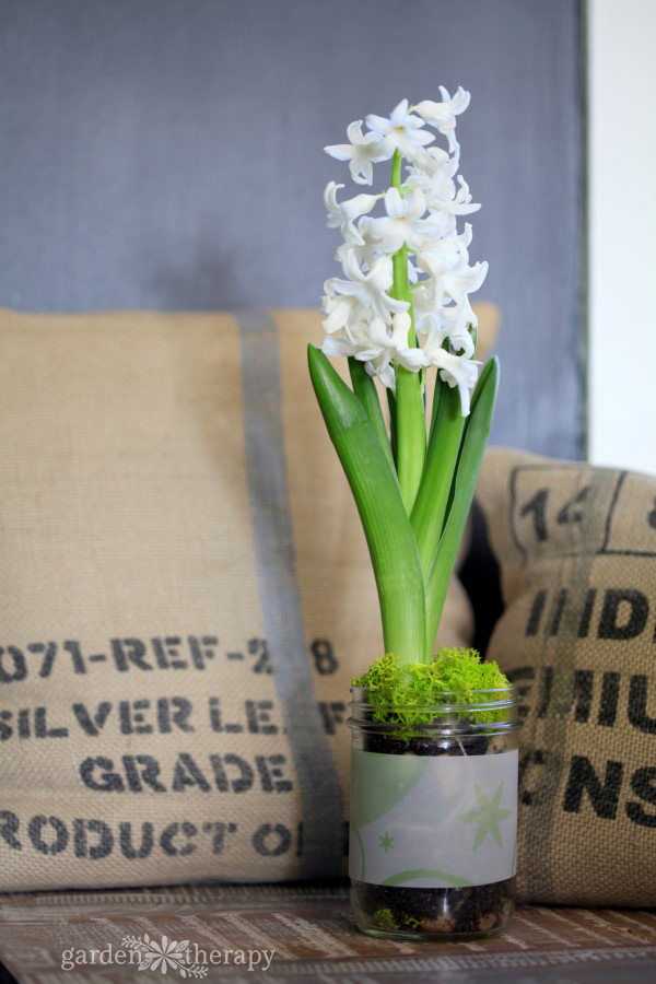 A white hyacinth growing in a Mason jar looks lovely with bright green moss added to the top of the jar