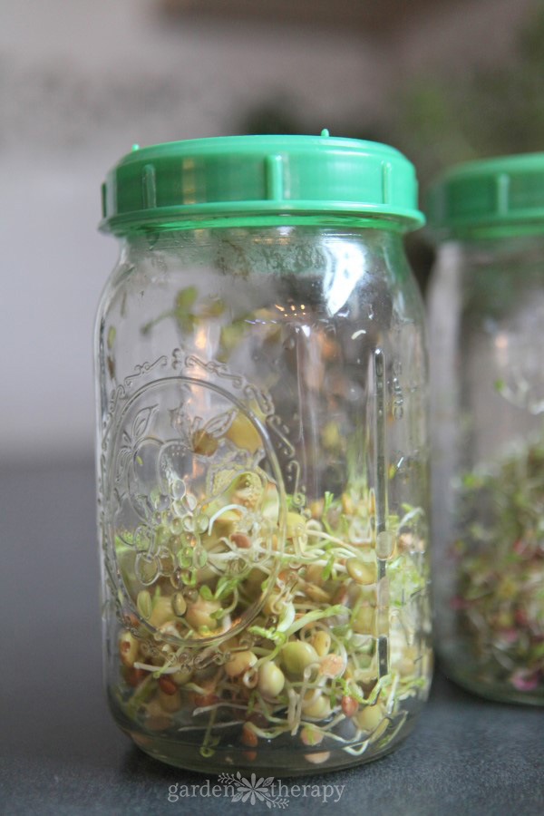 crispy mix sprouts growing in a jar