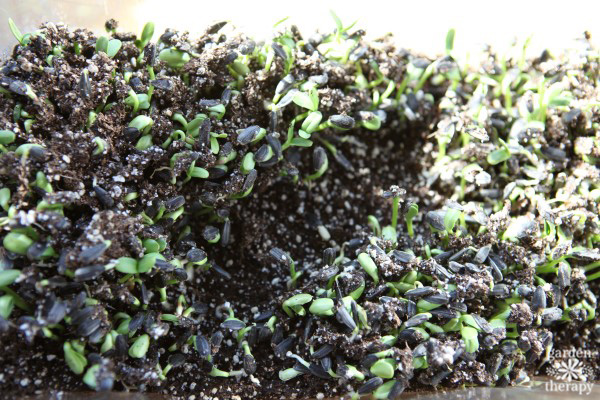 Sunflower microgreens shooting up out of the dirt.