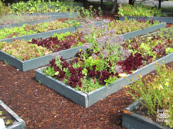 Raised beds with vegetables and herbs growing