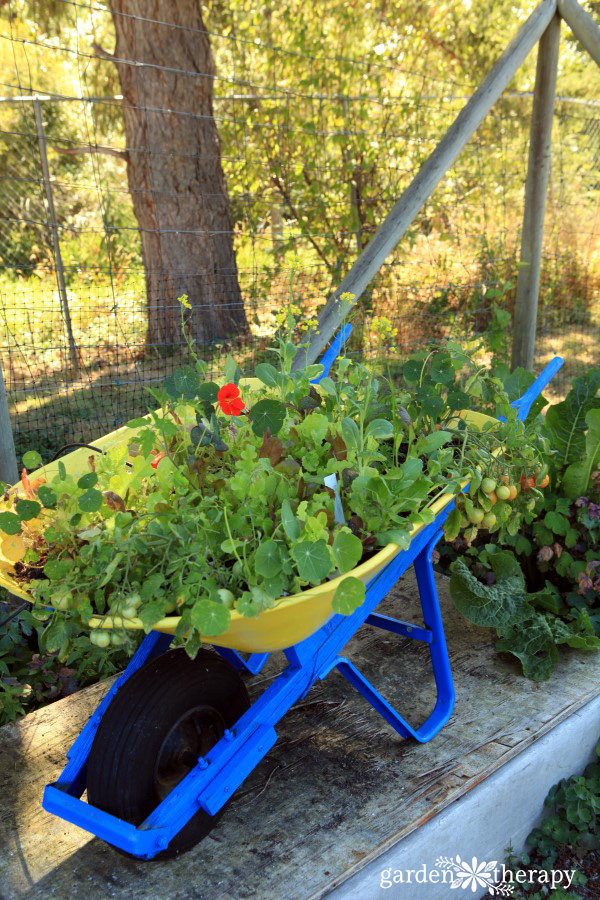A blue and yellow wheelbarrow planted with nasturtiums