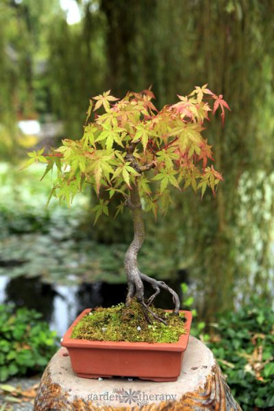 Bonsai Japanese maple tree in a square ceramic pot in front of a pond