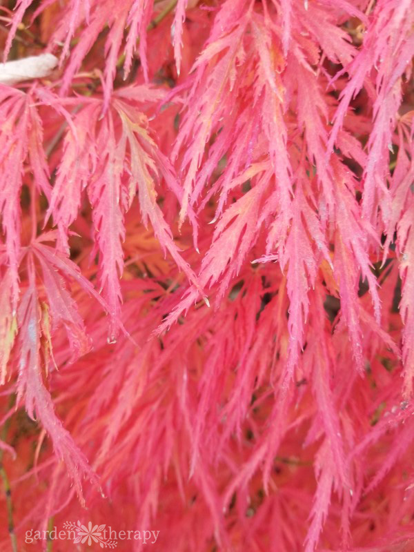 Close-up image of feathery, bright red Japanese maple leaves