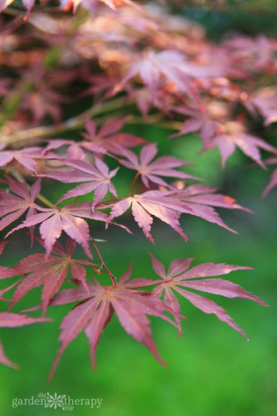 Close-up image of burgundy Japanese maple branches on a green background