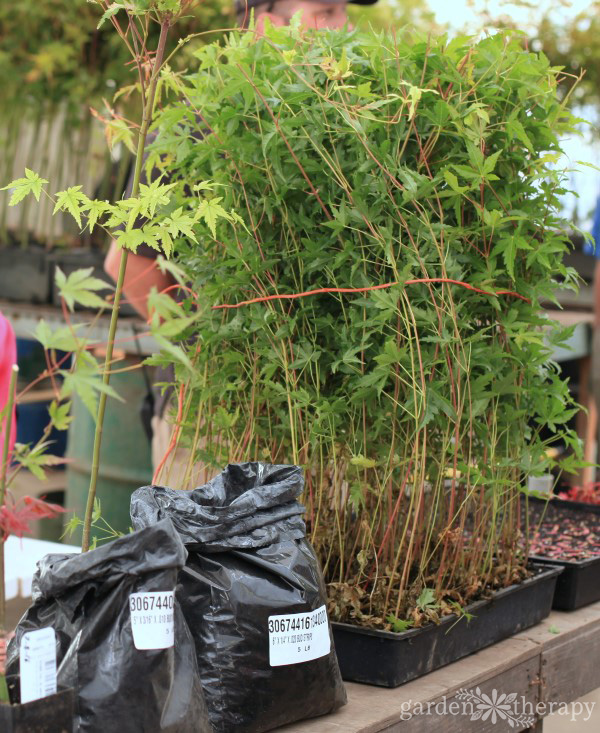 A group of small Japanese maple seedlings in nursery pots