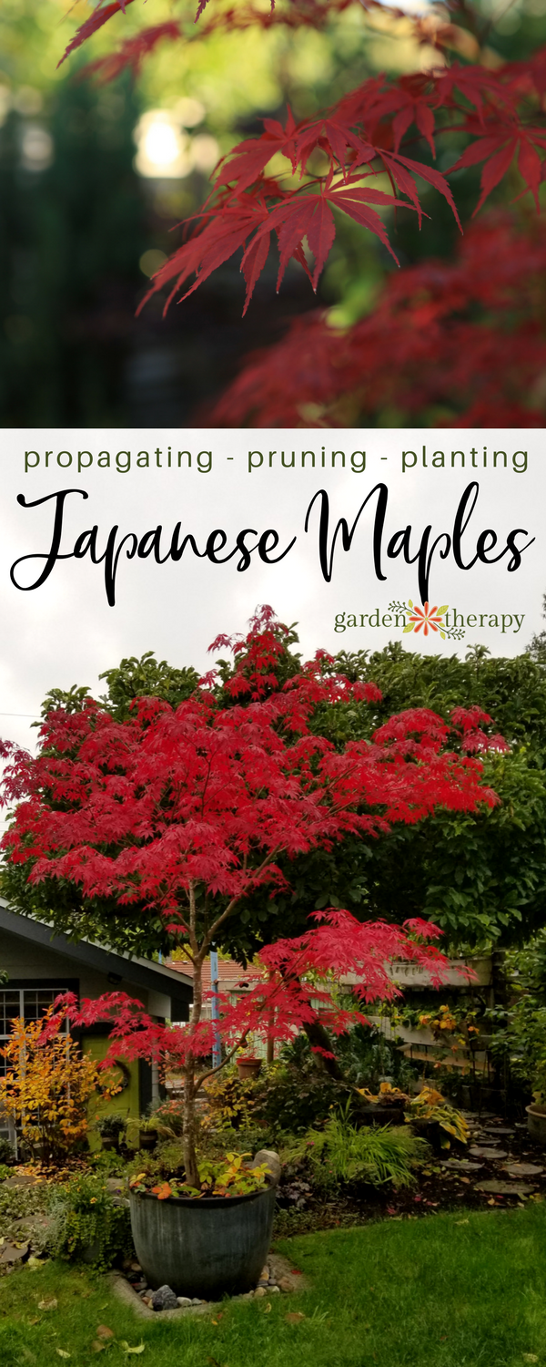 "Collage image of two Japanese maples with red foliage and text overlay reading ""Propagating, Pruning, Planting: Japanese Maples"""
