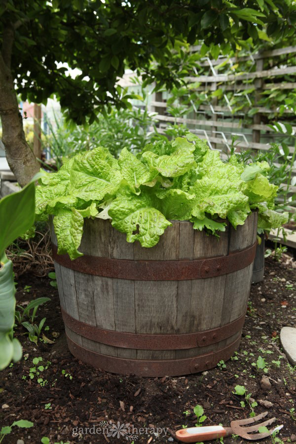 A half wine barrel makes a stylish and effective container to grow lettuce in