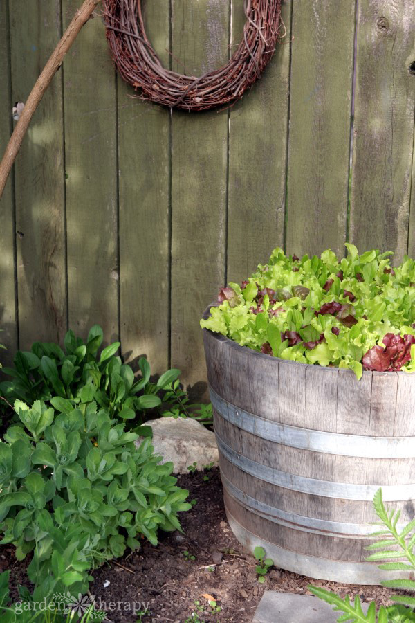 Various Types Of Lettuce In Different Colors Look Attractive Growing In A  Wine Barrel