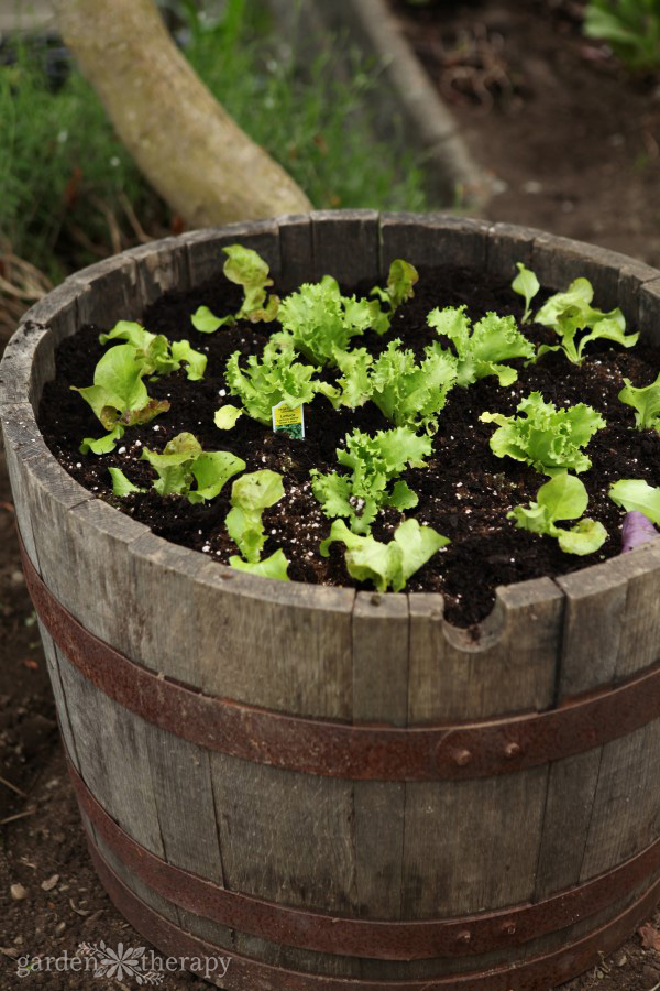 Baby lettuce plants growing in a wine barrel
