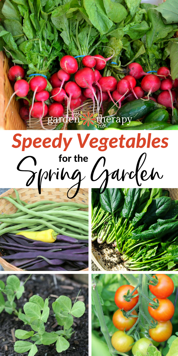 """Collage image of peas, tomatoes, spinach, beans, and radishes with text overlay """"Speedy Vegetable for the Spring Garden"""""""