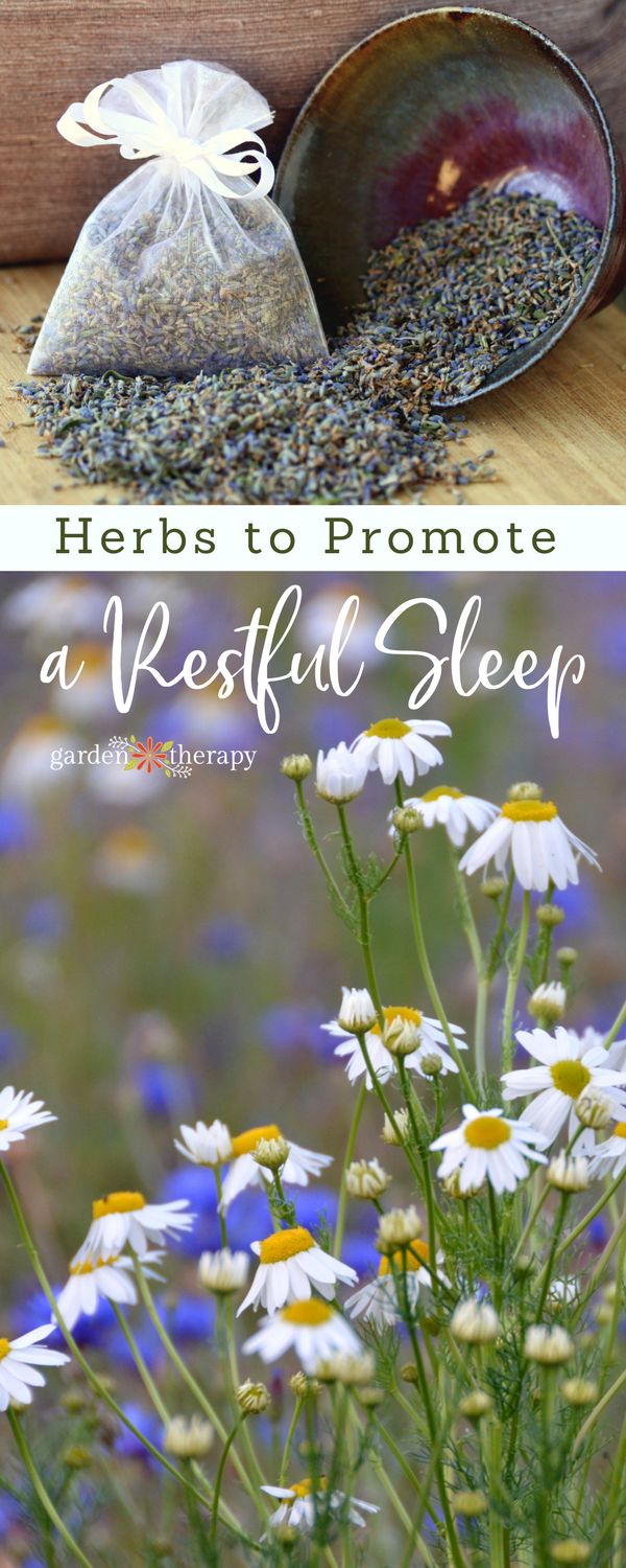 "Collage image of chamomile flowers underneath lavender sachets with text overlay ""Herbs to Promote a Restful Sleep"""