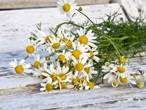 A bundle of freshly picked chamomile flowers lying on a wooden surface