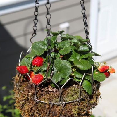 Garden Produce You Can Grow in a Hanging Basket