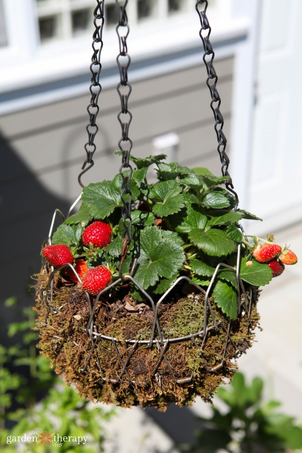Strawberries grow well in a hanging basket