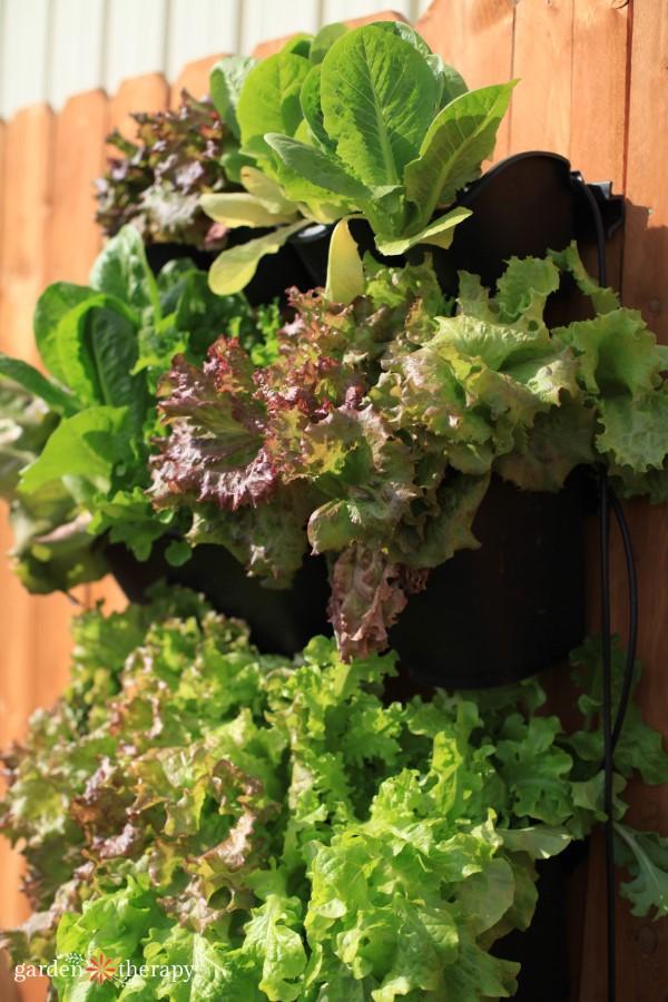 Growing salad greens in a vertical garden
