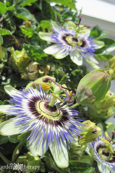 Close-up image of two blooming passionflowers and a bud growing on the same plant